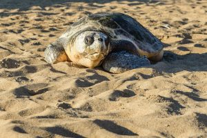 Sea Turtle Release at Costa Navarino