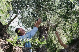 2. OLIVE HARVESTING Take part in the traditional olive harvesting practiced by the Messinians for centuries.
