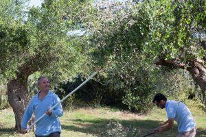 Costa Navarino celebrates the olive harvesting season