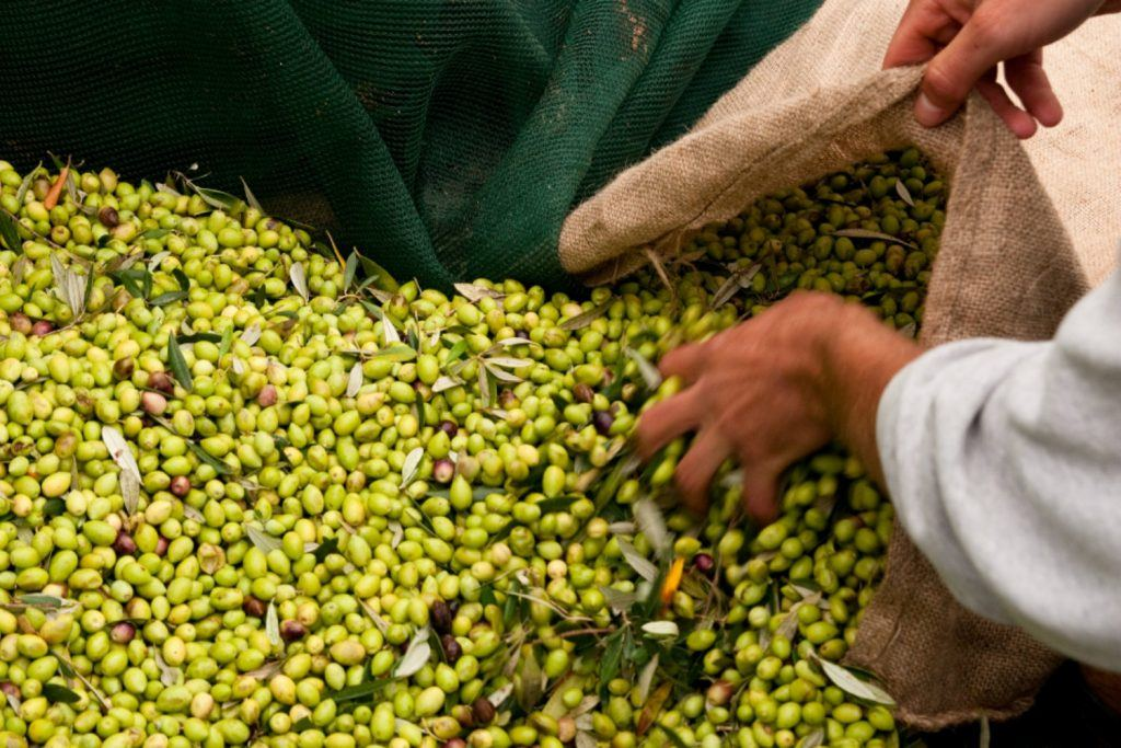 journey-greece-costa-navarino-olive-harvesting-season
